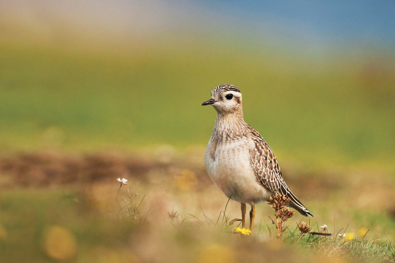 European Dotterel