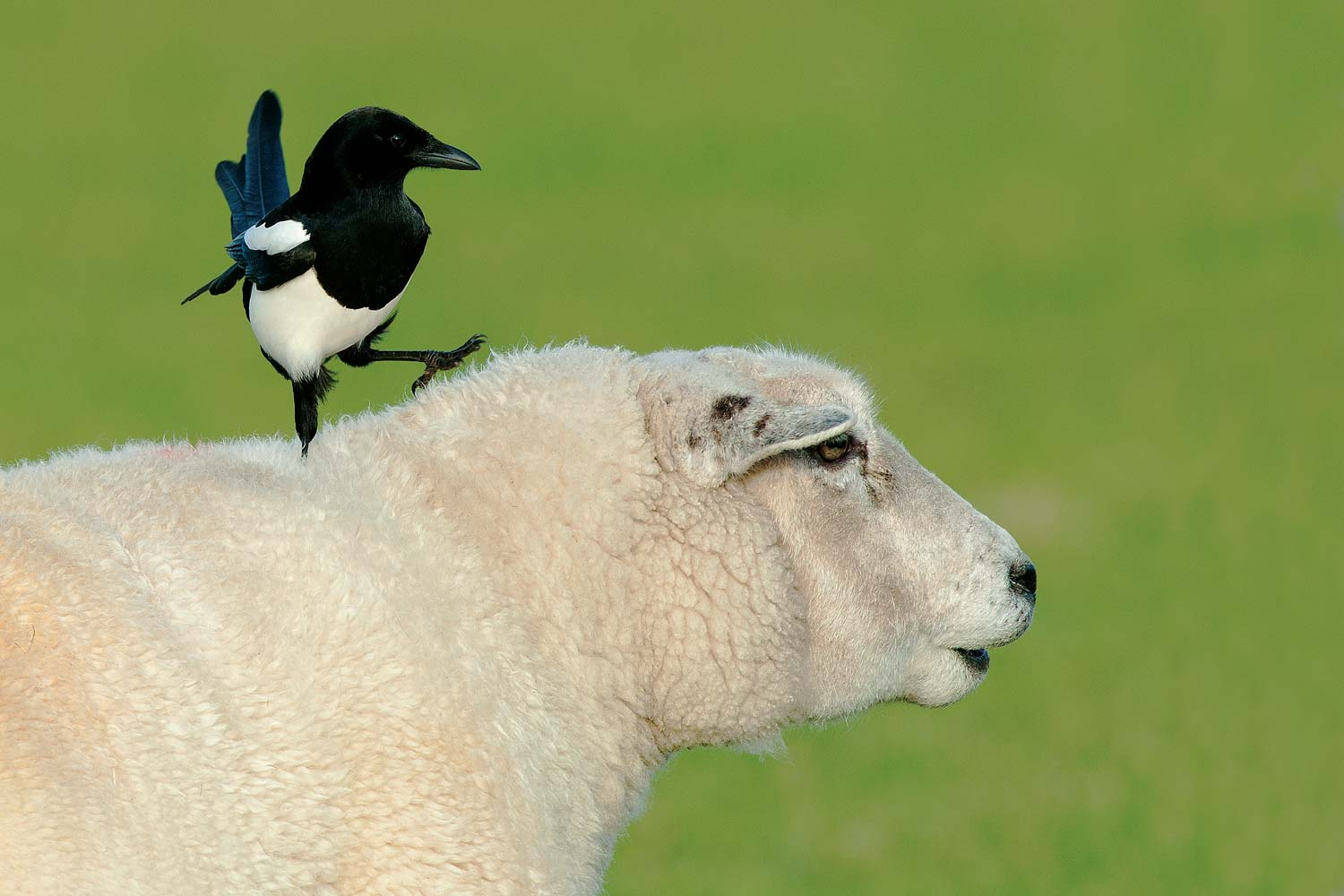 The Magpie and the Sheep