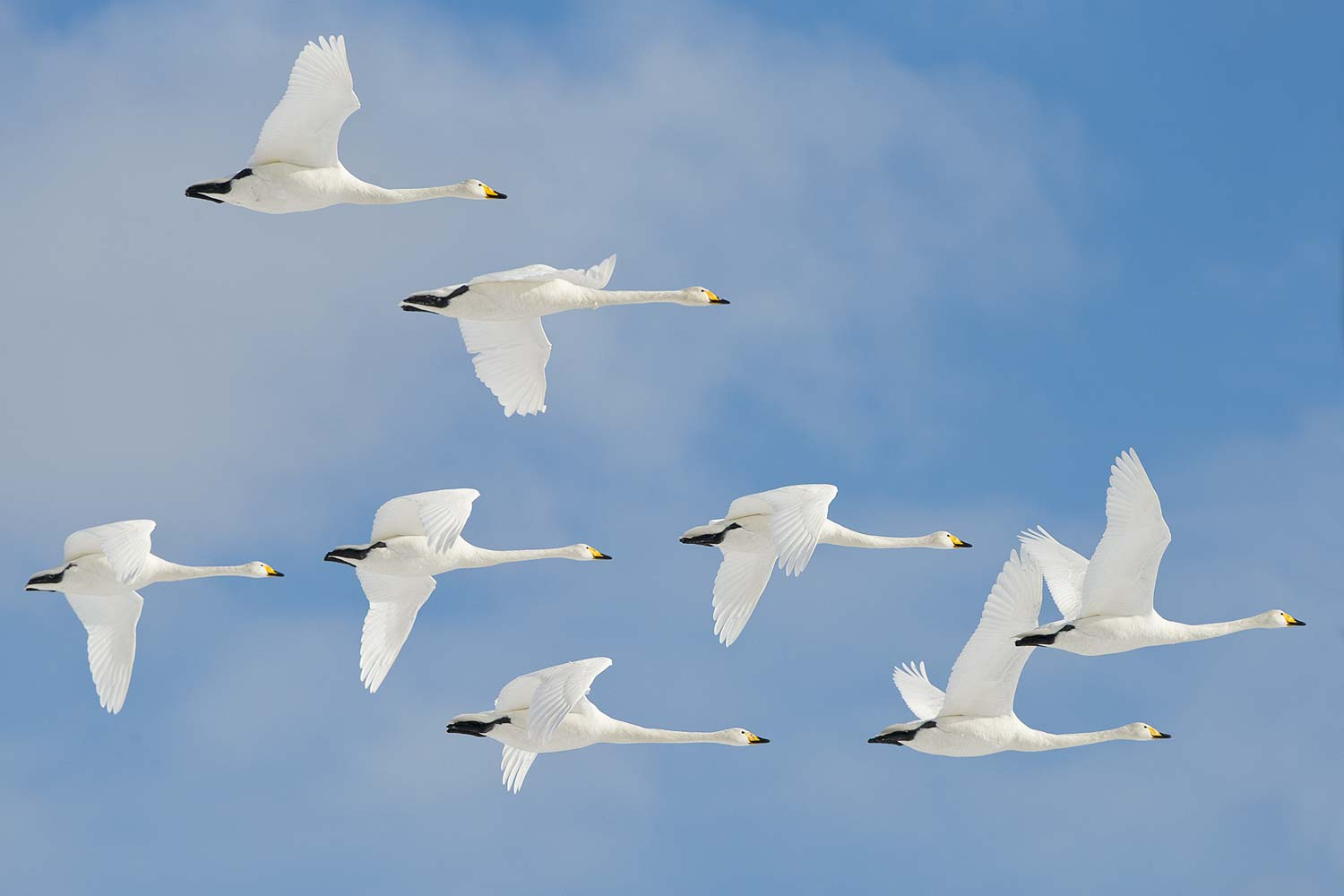 Whooper's Swans
