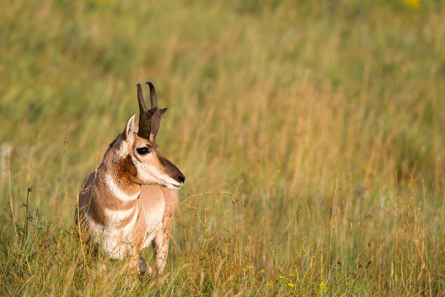 Antilope Pronghorn