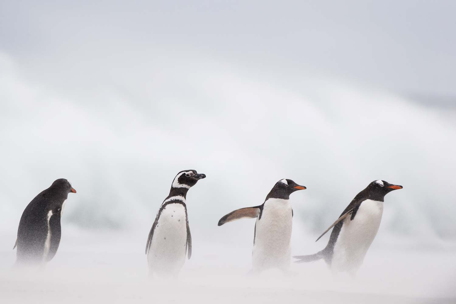 Gentoo and Magellanic Penguins