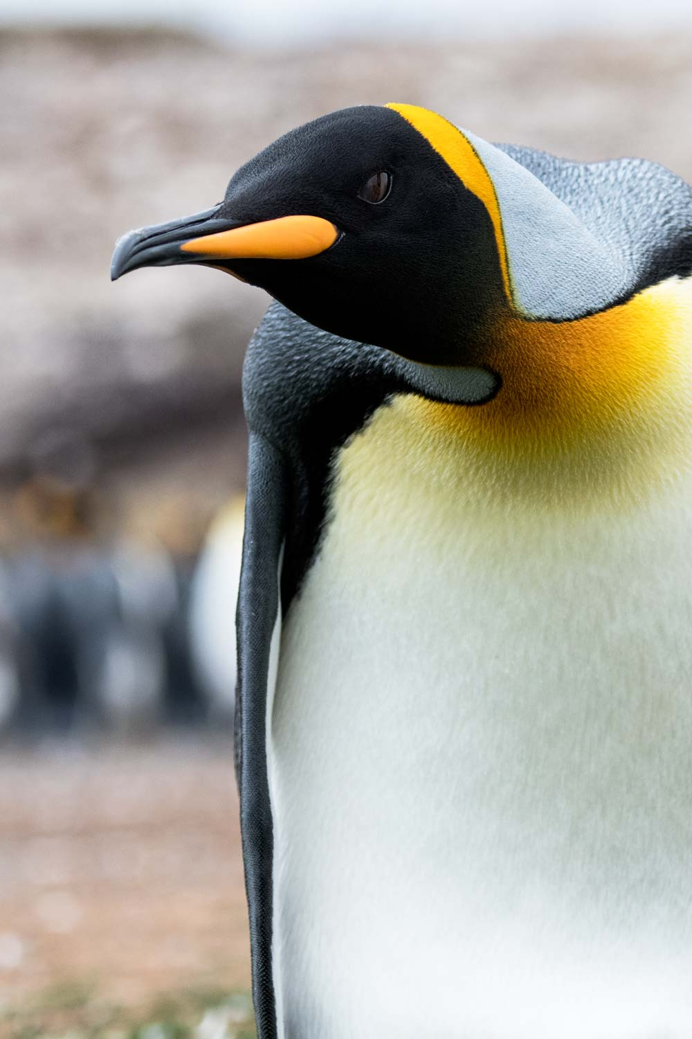 King Penguin